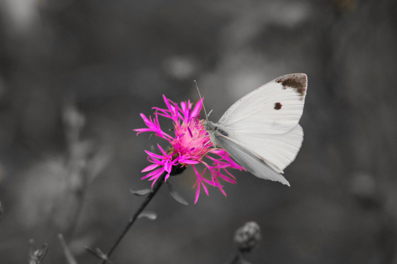 Black And White With A Pop Of Color Photo Butterfly By