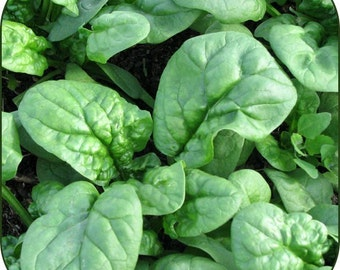 Organic Spinach Seeds *Bloomsdale Longstanding* ~w/Beneficial Bacteria/Bulk Available~