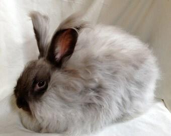 100% English Angora Wool- Undyed- Daisy Bunny-1 ounce