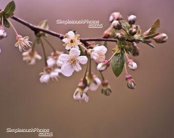 Cherry Blossom Tree Photo Spring Time Photo Art 14x11 Photo