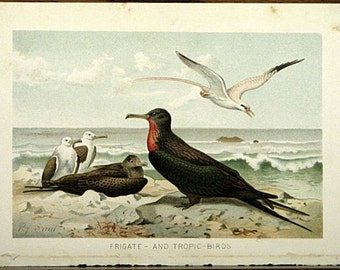 Original 1890s Full Color Chromolithograph Frigate And Tropic Birds by P. J. Smit Beautiful Color Bird Print !