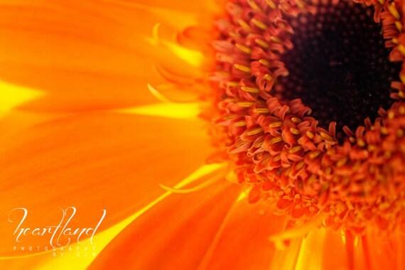 Large Print Orange, Orange Daisy Photo, Big Orange Art, Macro Photography, Nature Photography, Flower Wall Art, Botanical Art Print
