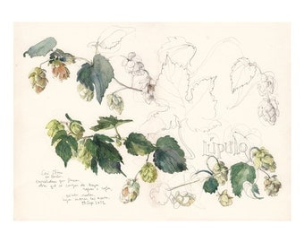 Hop flower, beer plant PRINT Watercolor drawing green plant. Original art by Catalina