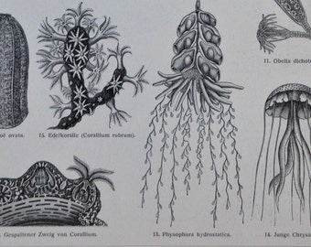 Protozoa and Coelenterata print. Coral. Sea anemones. Old book plate, 1904. Antique  illustration. 110 years lithograph. 9'6 x 6'2 inches.