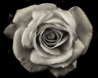 Flower Photography, Roses, Garden, Summer, Simple Elegance, Fine Art, Black and White Photograph, Wall Art, Home Decor