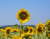 Summer sun and sunflower fields - downloadable photograph