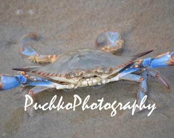 Blue Crab on beach