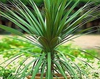 Blue Dracaena Palm Seeds (Cordyline Indivisa) 50+Seeds