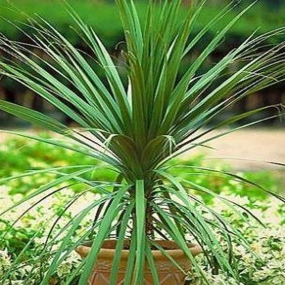 blue dracaena palm seeds cordyline indivisa 50seeds. Black Bedroom Furniture Sets. Home Design Ideas