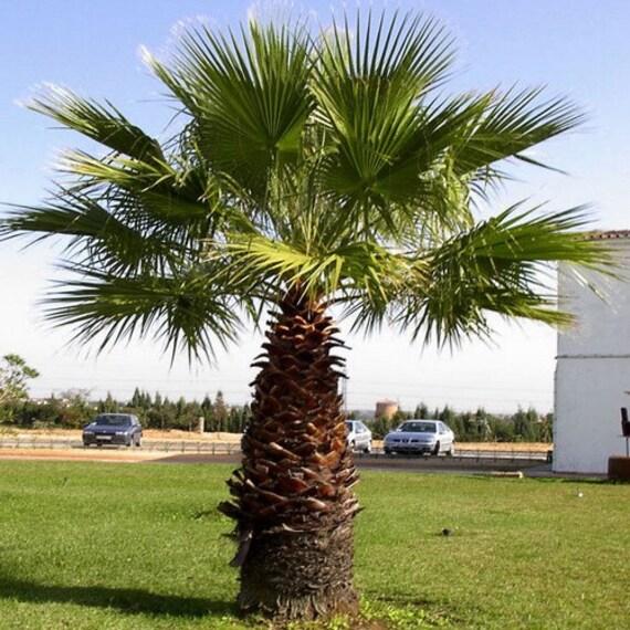 california fan palm seeds washingtonia filifera 10seeds. Black Bedroom Furniture Sets. Home Design Ideas
