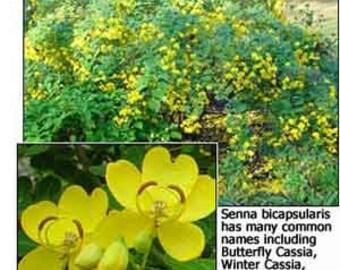 Senna bicapsularis Cassia
