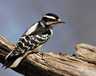 Downy, woodpecker, bird, photo, glossy, print, signed, US, wildlife, home decor, wall art, nature photography, free shipping