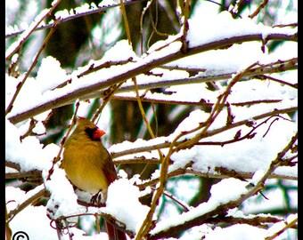 Bird Photo Cardinal Winter Snow,Photo of Cardinal Bird photo,Photograph of Red Bird,Bird Photography,Cardinal Picture,Picture of Cardinal