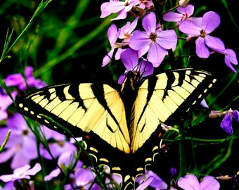Butterfly Photo,Yellow Butterfly Photo on Flowers,Yellow Swallowtail Butterfly Photograph,Yellow Butterfly,gardener gift,Dames Rocket Flower