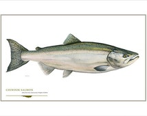 Chinook Salmon Open Edition Print by Flick Ford, Western native salmon, natural history art, fish art, freshwater gamefish picture
