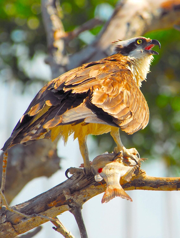 Osprey with fish osprey photo sea hawk photos raptor photos for Fish hawk fl