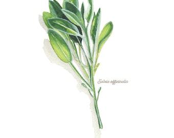 Sage Herb Watercolor Illustration Print