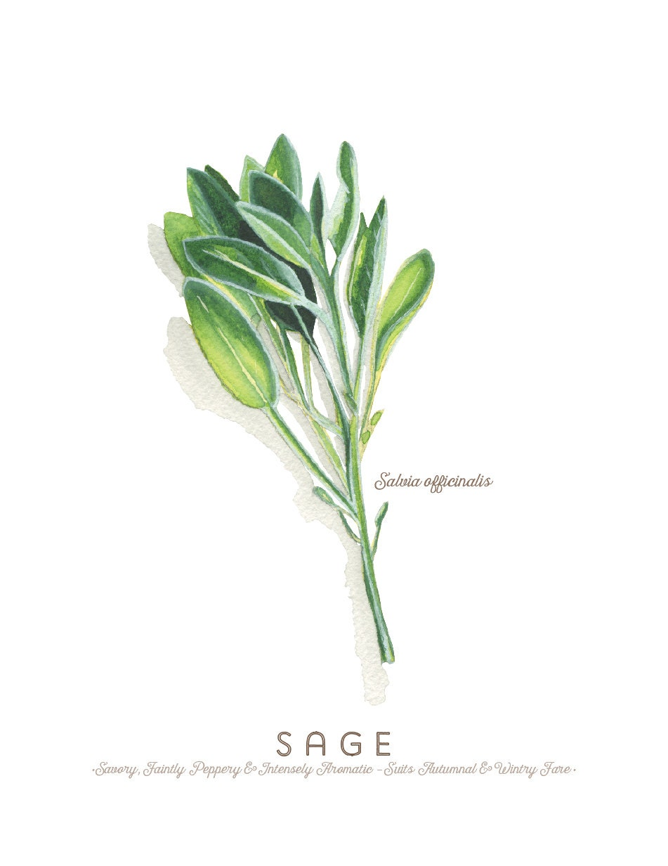 Sage Illustration Sage Herb Water...
