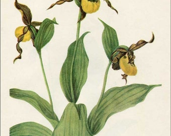 Vintage 1953 Yellow Lady's Slipper Perennial Plant, Botanical, Floral Print for Framing, American Wildflower, Vintage Flower Print