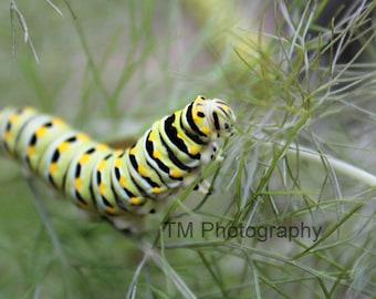 Black Swallowtail Caterpillar - Caterpillar - Butterfly - Colorful Caterpillar - Swallowtail Macro - Fine Art Photography