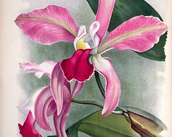 antique french illustration tropical flower pink orchid illustration digital download