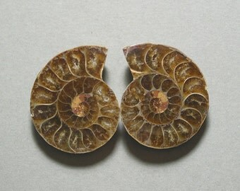 fossil AMMONITE cabochons matching pair two 30X37mm designer cabs