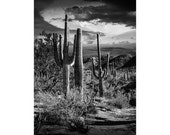 Saguaro Cactuses in Black & White at Saguaro National Park near Tucson Arizona No.BWFS063 - A Desert Landscape Photograph