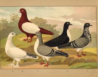 1910 Austrian Medium-faced Tumbler Pigeons Original Antique Chromolithograph
