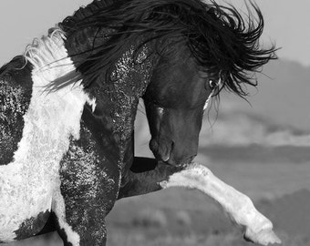 Black and White Stallion Strikes Out - Fine Art Wild Horse Photograph - Wild Horse - Washakie - Black and White
