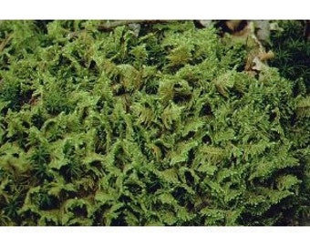 Live Plume Moss - Quart bag