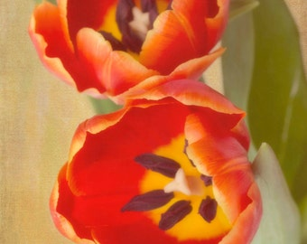 Orange Tulips, Fine Art Photography, Flower Photography, Floral Photography, Nature, Garden