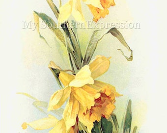 Catherine Klein Daffodil Painting Vintage Digital Download Collage Mixed Media Scrapbook Clipart
