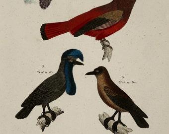1854 Antique print of TROPICAL BIRDS. Exotic Birds. Birds of Paradise. Ornithology. 162 years old rare engraving.