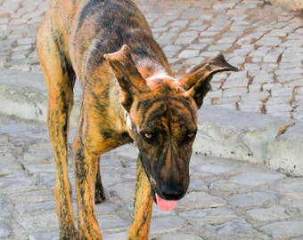 Places to Go. | Silves, Portugal Dogs Brindle Travel Stone Street Fine Art Photography  8x10