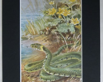 1950s Vintage Grass Snake Print by Roland Green British reptile art, natural history decor - Available Framed - Nature Print - Woodland Gift