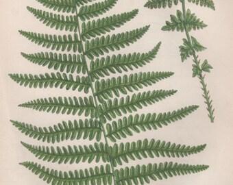 1855 Ferns Art Print, Antique Botanical Illustration, Flora Lithograph, Anne Pratt Botany, Mountain Fern, Lastrea Oreopteris limbosperma