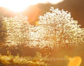 Sunlight through Trees Photo, Golden Sunshine Tree Blossoms, Sun rays & Tree Art, Sunshine in Woods, Forest Light, Woodlands Sunlight Photo