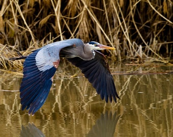 Great Blue Heron, Wildlife Photography, Fine Art, Wall Decor, Animal, Bird Photography, Rob's Wildlife, Epic Wildlife Adventures