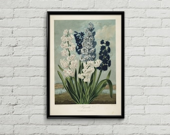 Hyacinth botanical illustration. Flower illustration. Illustration print. Home decor. Botanical print. Hyacinths poster.