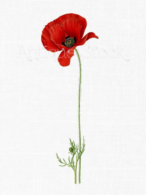 Red Flower Clipart 'Poppy Flower' Vintage Botanical