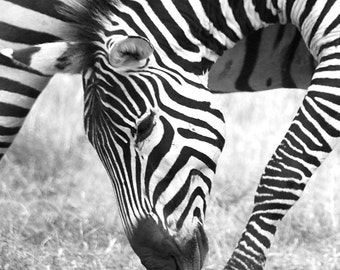 Zebra Grazing - Digital Photography, Zebra Art, Zebra Decor, Zebra Photography, Zebra Wall Art, Zebra Safari Art, Zebra Pattern, Zebra Decor
