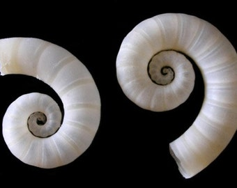 "Rams Horn Squid~Spirula Spirula 1/2""~3/4""~Craft and Jewelry Sea Shell Supplies~Sold in three Lots Of ~ 5, 10, or 20 pcs. ~Free Shipping~"