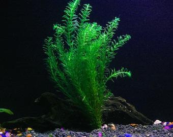 Anacharis | Egeria Densa/Elodea Densa - Beginner Live Aquarium Tropical Plant