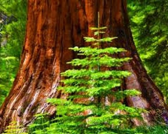 Giant Sequoia Seeds, Sequoiadendron giganteum, Tree Seeds, Bonsai Seeds, Giant Redwood, Sierra Redwood, Wellingtonia