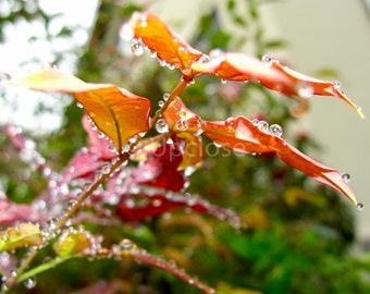 Rain Drops on the Edges of Orange Leaves Photograph, Print, Wall Decoration