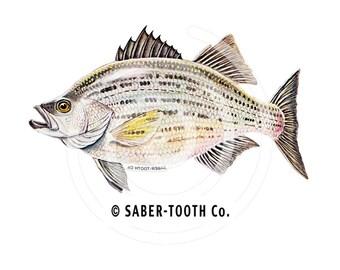 White Bass Fish Decal Sticker