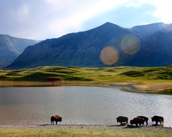 Bison Herd II  - nature photography, national park, clouds, meadow, landscape, buffalo, bison, wildlife, lake, nature, wall art