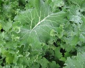 3,000 Seeds Premier Kale Seeds Vegetable Seeds