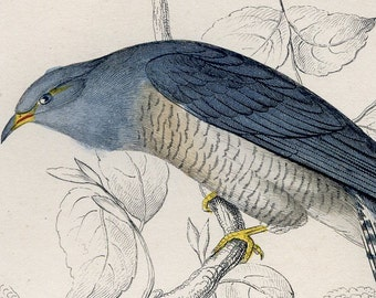 Antique Nature Engraving Lineated Cuckoo Ca.1838 William Jardine - Single Matted with Description Page