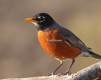 robin, bird, birds, print, photo, wall art, home decor,  songbird, wildlife, nature, photography, bird photography